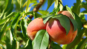 Tree of peachs. Stock Image