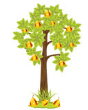 Tree with pear Royalty Free Stock Image