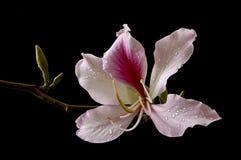 Tree Pelargonium. Picture of a bloom taken in a studio Stock Image