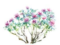 Tree peonies. Watercolor painting, tree peonies on white Stock Image