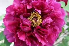 Tree Peony. Fushia tree peony in full bloom with macro details of flower Stock Photography