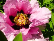Tree Peony in flower close up. Pink peony flowers growing in the garden, floral background. Bee in the spring flower. Royalty Free Stock Photos