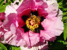 Tree Peony in flower close up. Pink peony flowers growing in the garden, floral background. Bee in the spring flower. Tree Peony in flower close up. Pink peony Stock Photography