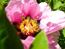 Tree Peony in flower close up. Pink peony flowers growing in the garden, floral background. Bee in the spring flower. Tree Peony in flower close up. Pink peony Stock Image
