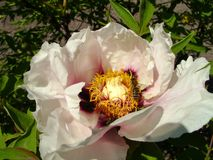 Tree Peony in flower close up. Pink peony flowers growing in the garden, floral background. Bee in the spring flower. Tree Peony in flower close up. Pink peony Royalty Free Stock Images
