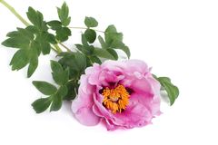 Tree peony pink flower isolated on white Stock Photos