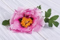 Tree-peony pink flower Royalty Free Stock Photo