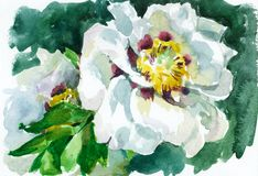 Tree peony Stock Photo