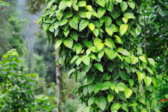 Tree Pepper Royalty Free Stock Photos