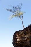 Tree perching on barren cliff face Royalty Free Stock Image