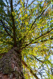 Tree Perspective from the Ground Royalty Free Stock Photography