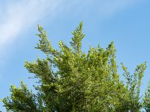 Tree. Perspective unique nature green leave view from under big green tree against with blue sky. Natural and environment concept Royalty Free Stock Images