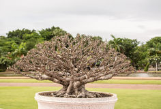 Tree is in Phuthamonthon Park Thailand. Phutthamonthon is a Buddhist park in Nakhon Pathom Province of Thailand Royalty Free Stock Images