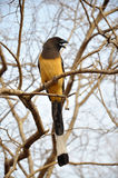 Tree pie: Bird. Rufous treepie is an asian bird from crow family Royalty Free Stock Photo