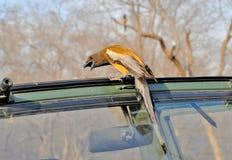 Tree pie bird. Rufous tree pie bird seating on safari vehicle Stock Image