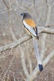 Tree pie: Bird. Rufous treepie is an asian bird from crow family Royalty Free Stock Photos
