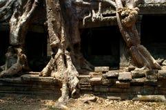 Tree pillars. Tree roots engulfing temple pillars providing new support Stock Photos