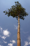 Tree  pine Royalty Free Stock Images