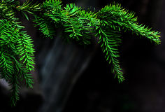 Tree pine branch on dark background Royalty Free Stock Photo