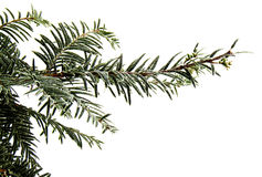 Tree pine branch isolated on white background Stock Images