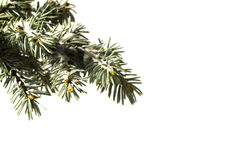 Tree pine branch isolated on white background
