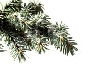 Tree pine branch isolated on white background Royalty Free Stock Photos
