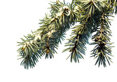 Tree pine branch isolated on white background Stock Image