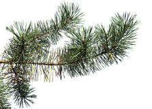 Tree pine branch isolated on white background Royalty Free Stock Photo