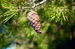 Tree, Pine Family, Conifer, Conifer Cone Stock Image