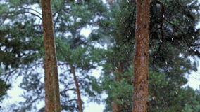 Tree in pine forest snow snowfall cold nature. Tree pine forest snow snowfall cold nature stock footage