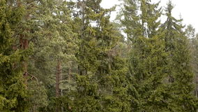 Tree in pine forest snow snowfall cold nature. Snowfall on the background of green pines in the spring stock video
