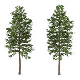 Tree pine isolated. Pinus sylvestris. See my other works in portfolio Vector Illustration