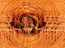 Tree a pine a knot Stock Image
