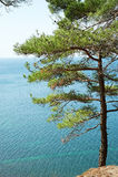 Tree pine on rocks over sea Stock Photo