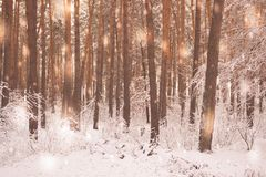 Tree pine spruce in magic forest winter with falling snow sunny day. Snow forest snowfall. Christmas Winter New Year background trembling scenery Royalty Free Stock Images