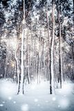 Tree pine spruce in magic forest winter with falling snow sunny day. Snow forest snowfall. Christmas Winter New Year background trembling scenery Royalty Free Stock Photo