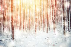Tree pine spruce in magic forest winter with falling snow sunny day. Snow forest snowfall. Christmas Winter New Year background trembling scenery Royalty Free Stock Photos