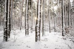 Tree pine spruce in magic forest winter with falling snow. Snow forest. Christmas Winter New Year background trembling scenery Stock Image