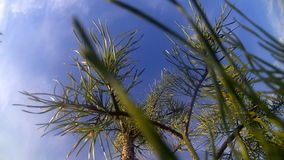 Tree a pine at sunny day against the sky. Young pine on a wind in a sunny day stock footage