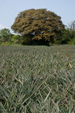 Tree in the pineapple farm Royalty Free Stock Images