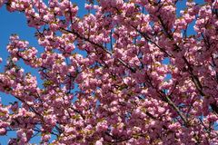 Tree With Pink Blossom Stock Image