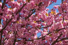 Tree With Pink Blossom Stock Photography