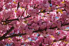 Tree With Pink Blossom Stock Photos