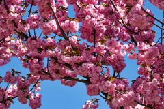 Tree With Pink Blossom Stock Photo