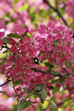 Tree pink blossoming. Little bumblebee. Stock Photo