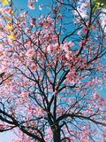 Tree with Pink Blossoms Stock Photo