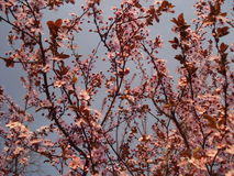 Tree pink blossoms in spring Stock Image