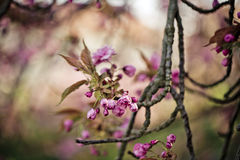 Tree with Pink Cherry in Spring Royalty Free Stock Image