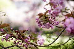 Tree with Pink Cherry in Spring Stock Image