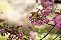 Tree with Pink Cherry in Spring Stock Photo